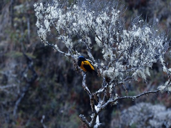 Golden Backed Mounatain Tanager - Unchog Bosque - Huanuco