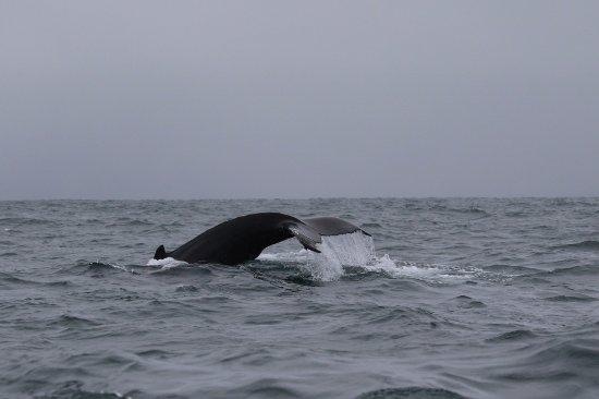 Husavik, Islândia: Humpback diving