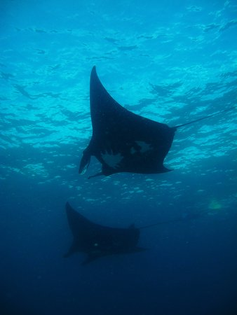 Coral Bay, Australia: The majestic Mantas are here all year round! Visit the resident population on our Marine Ecotour