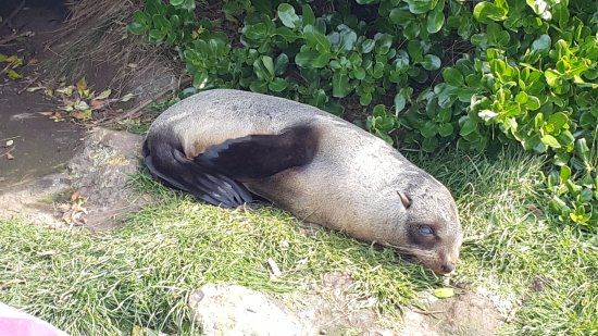 Martinborough, Nueva Zelanda: So cool to be this close to the fur seals on our 'Pinot to Palliser' tour