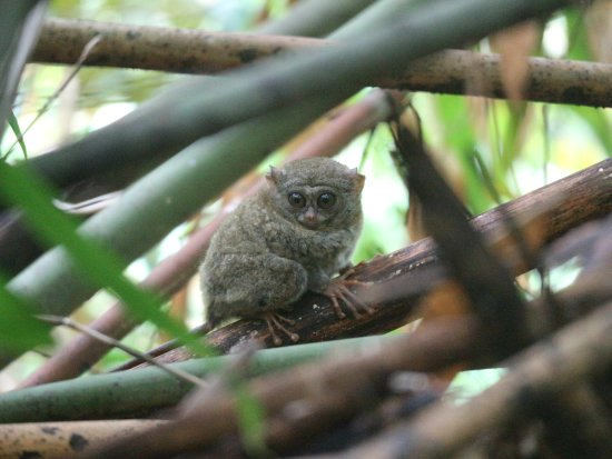 Gorontalo, Endonezya: Tarsius
