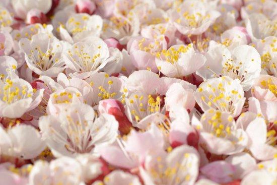 Fochabers, UK: Cherry Blossom