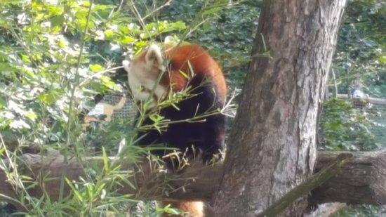 Anif, Austria: Kleiner Panda