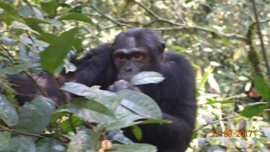 Kasese, Ouganda : Chimps