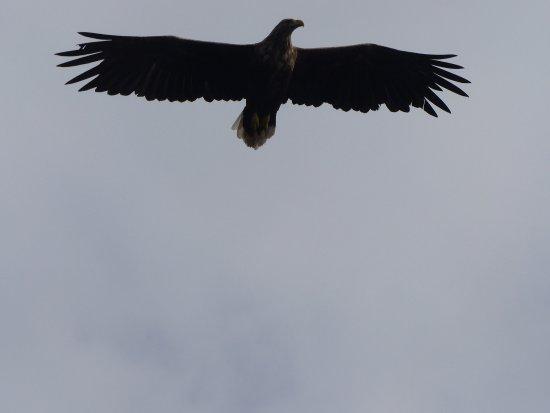 Svolvær, Norge: Majestic birds