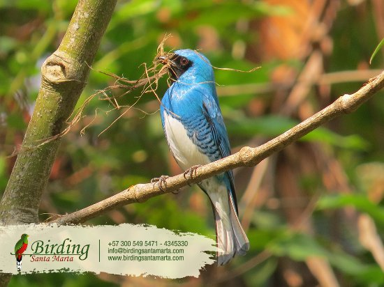 Distrito de Santa Marta, Colombia: Disfruta de esta hermosa ave en Minca Black-Backed Antshrike