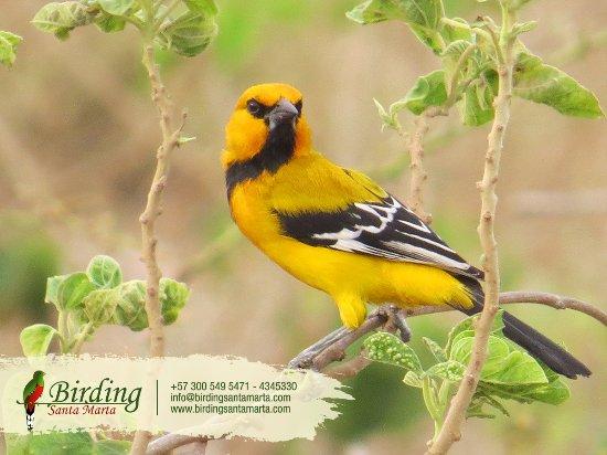 Santa Marta District, Colombia: Disfruta de esta hermosa ave en los falmencos Yellow Oriole