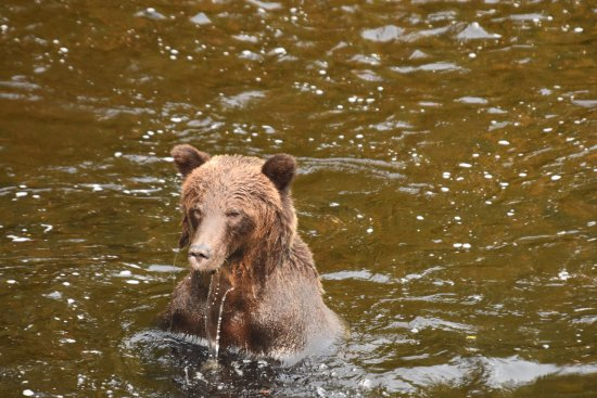 Knight Inlet Lodge: grizzli