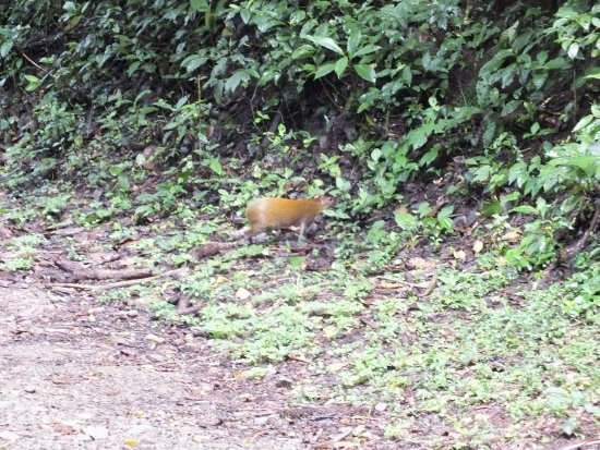 Monteverde Cloud Forest Reserve, Costa Rica: agoutis seen wandering along and across the paths throughout the reserve