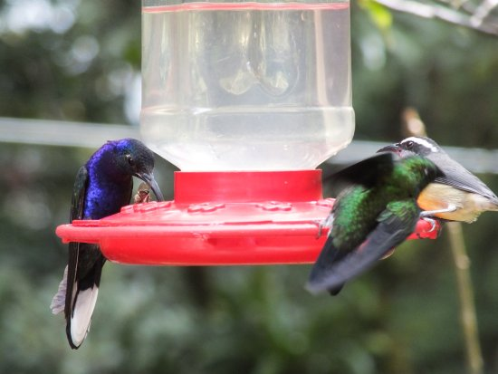 Monteverde Cloud Forest Reserve, Costa Rica: humming birds feeding on the feeders in the humming bitd gardens just outside the reserve