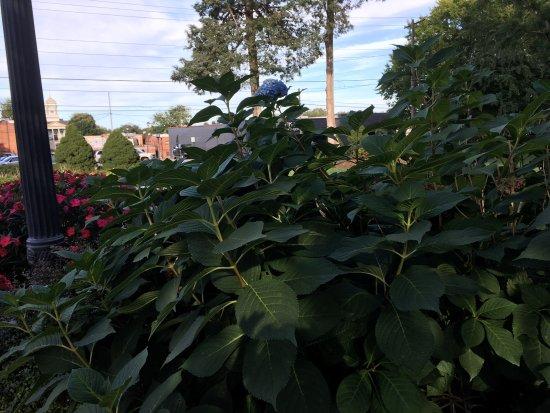 Morganton, NC: Huge hydrangea plants on the grounds