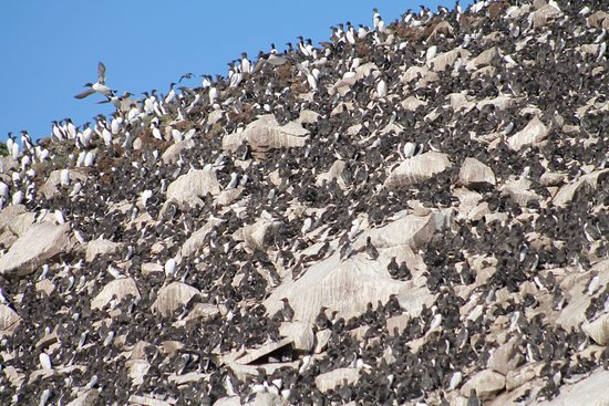 Bay Bulls, Canada: bird colony on Gull Island