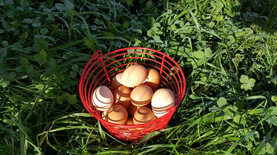 Hartland, VT: Collected fresh eggs.
