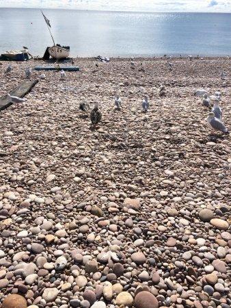 Budleigh Salterton, UK: Greedy seagulls.