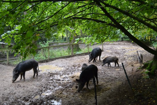 Wildwood Escot: The wild boar