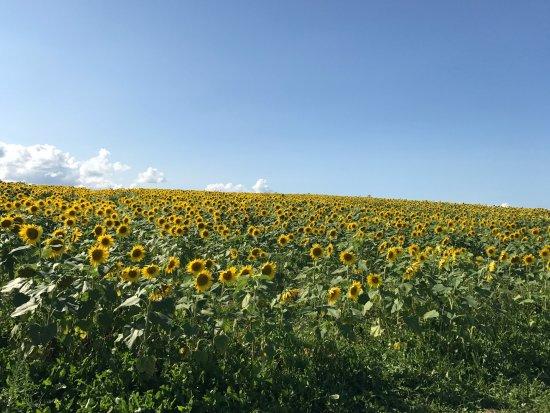 Windsor, Canada: Sunflower Maze