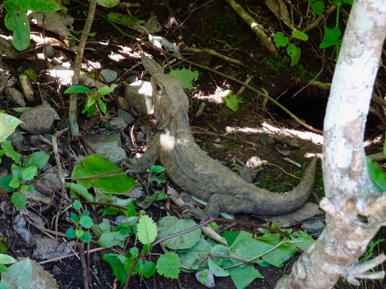 ZEALANDIA Sanctuary Tuatara Lizard Like Reptile From The Dinosaur Age