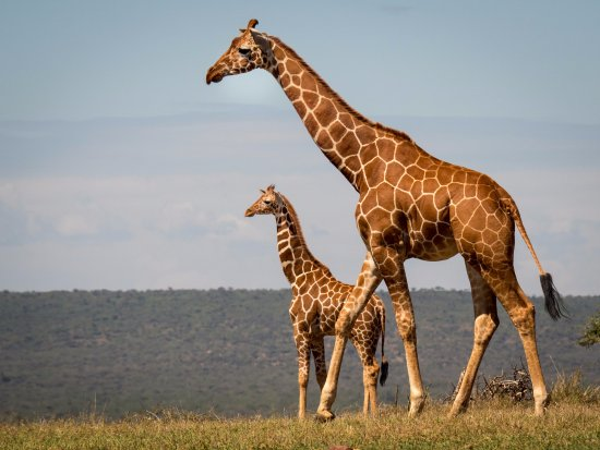 Reticulated Giraffe Mom And Baby Picture Of Karisia Walking