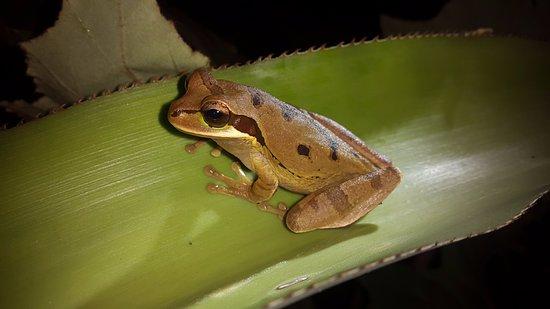 Cocles, Costa Rica: rana 2