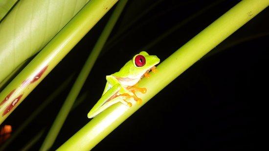 Cocles, Costa Rica: rana 1