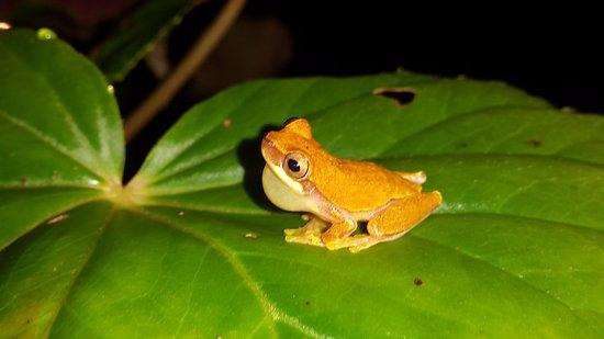 Cocles, Costa Rica: ranas