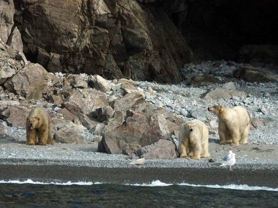 Chukotka Autonomous Region, Russland: Polar Bears