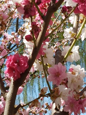 Sutton, Avustralya: Apart from Tulips we also had the wonderful blossom trees
