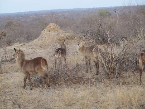 Timbavati Private Nature Reserve, Sudáfrica: Wildlife - Kudus