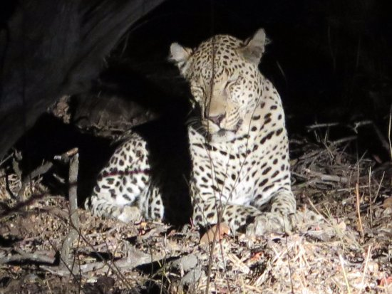 Timbavati Private Nature Reserve, South Africa: Wildlife sighting - Leopard