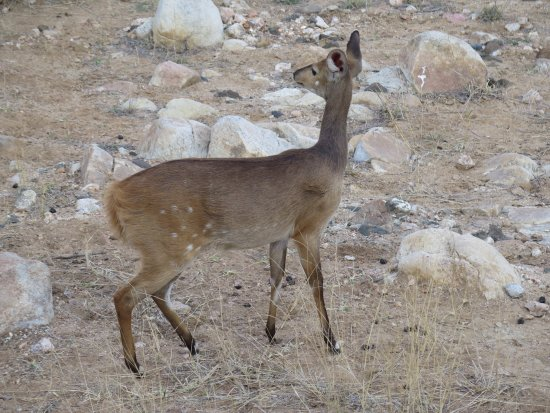 Simbavati River Lodge: Wildlife - Bushbuck