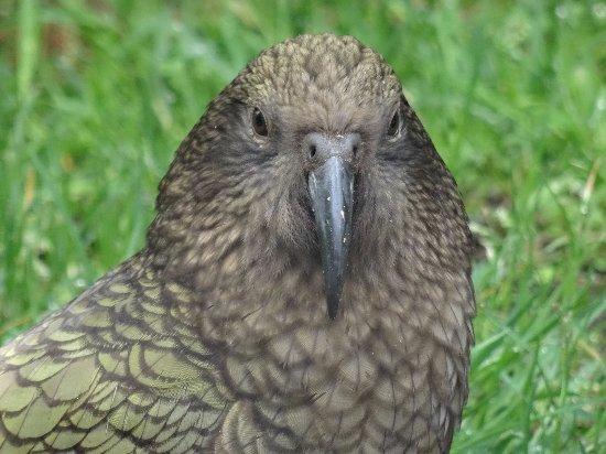Invercargill, Νέα Ζηλανδία: Kea
