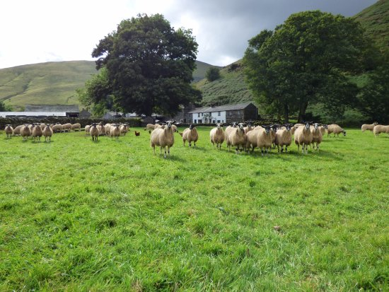 Mosedale End Farm Bed and Breakfast & Glamping Pod: Sheep at Mosedale End Farm B&B and Glamping Pod