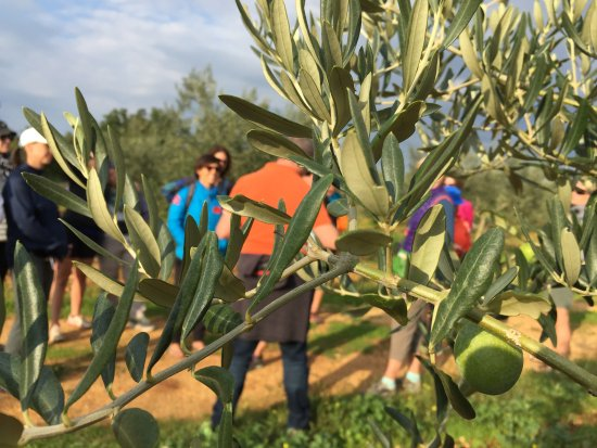 Vodnjan, Kroatien: View through olives