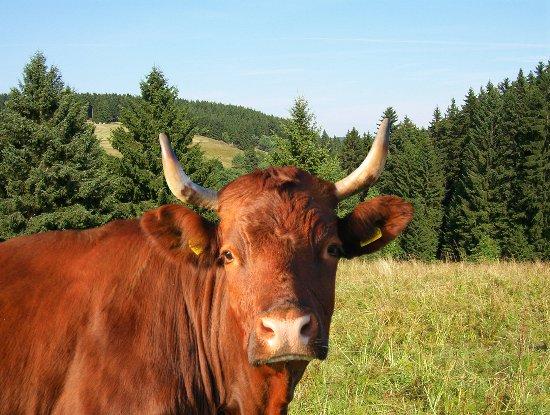 Tanne, ألمانيا: Harzer Rotes Höhenvieh