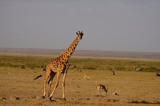 Amboseli National Park, Kenia: Masai Giraffe