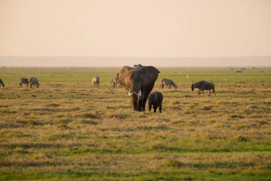 Amboseli National Park, Kenia: Tanzanian elephants