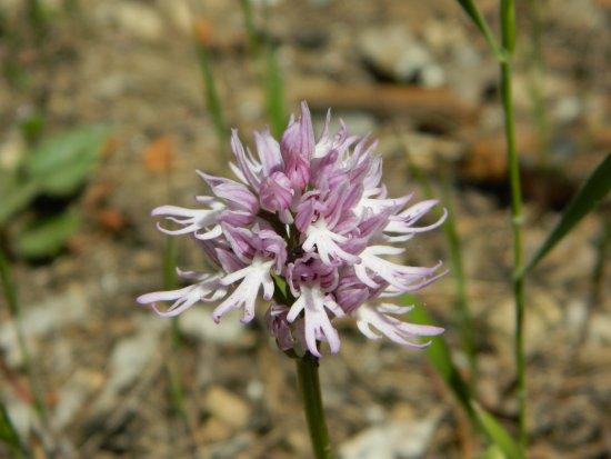 Calascibetta, İtalya: Orchis italica (omino nudo)