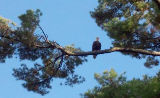 Lee, MA: the wild life.. Yes that is a bald eagle out on the kayak