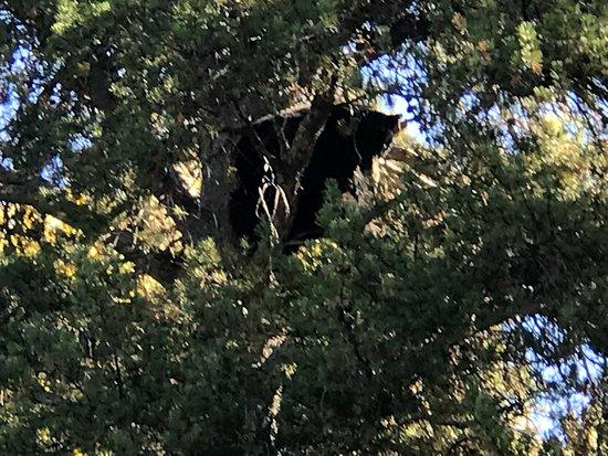 R Lazy S Ranch: Black Bear sleeping in a tree, we were on horseback