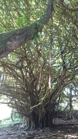 Wailuku River State Park : 巨樹に登れます