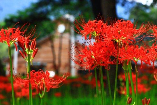 Takaharu-cho, Japan: 御池近くの御池小の彼岸花・その4
