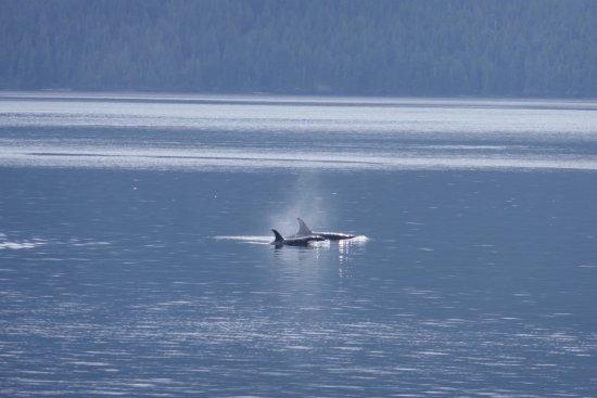 Heriot Bay, Canada: so many orcas!