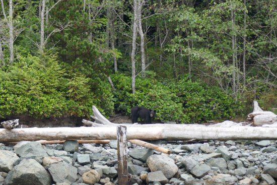 Heriot Bay, Canada: black bear