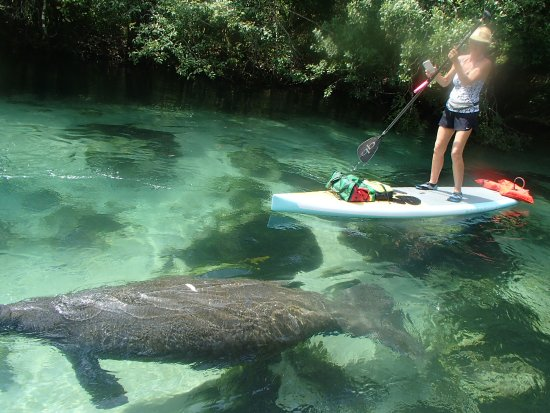 ‪‪Upper Tampa Bay Paddle Sports‬: Manatee tours‬