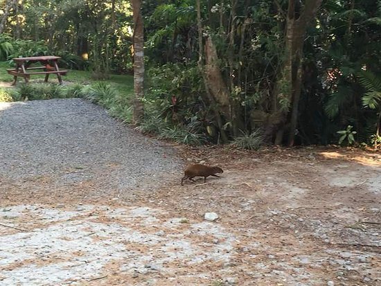Cerro Plano, Kostaryka: Coati at the grounds!