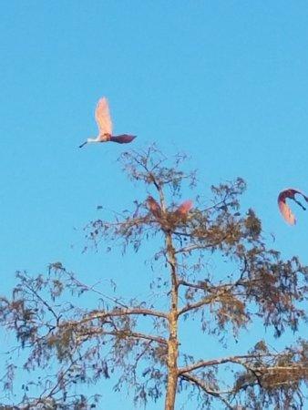 Breaux Bridge, LA: some of the birds