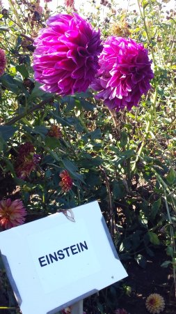 Canby, OR: Dahlias everywhere
