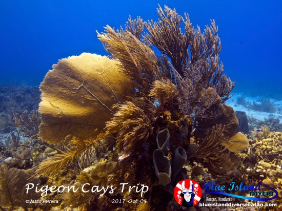 Sandy Bay, هندوراس: Sea fans along with soft corals while diving