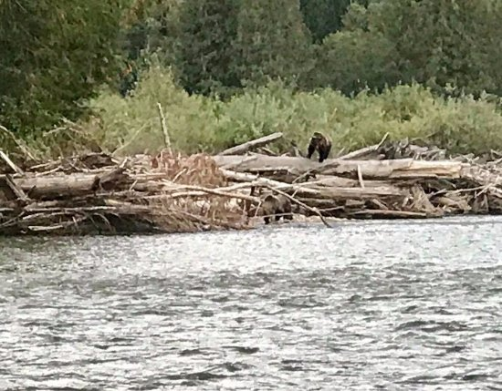 Kaslo, Canada: Two more grizzly Bears