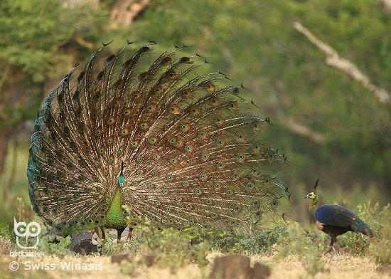 Birdpacker Birding Tours Baluran